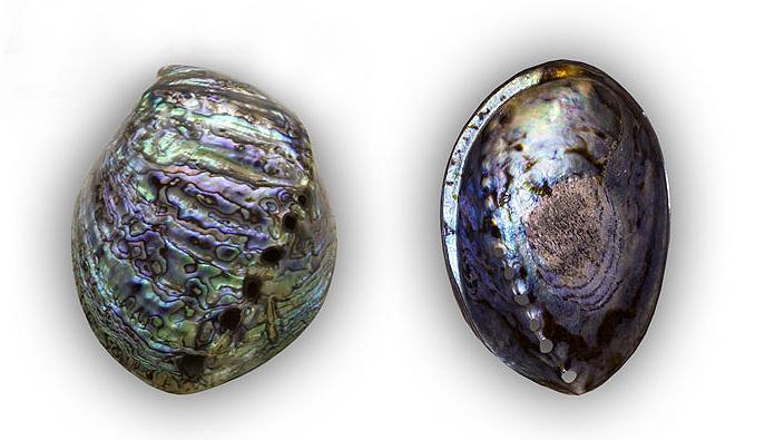 Abalone-Schale